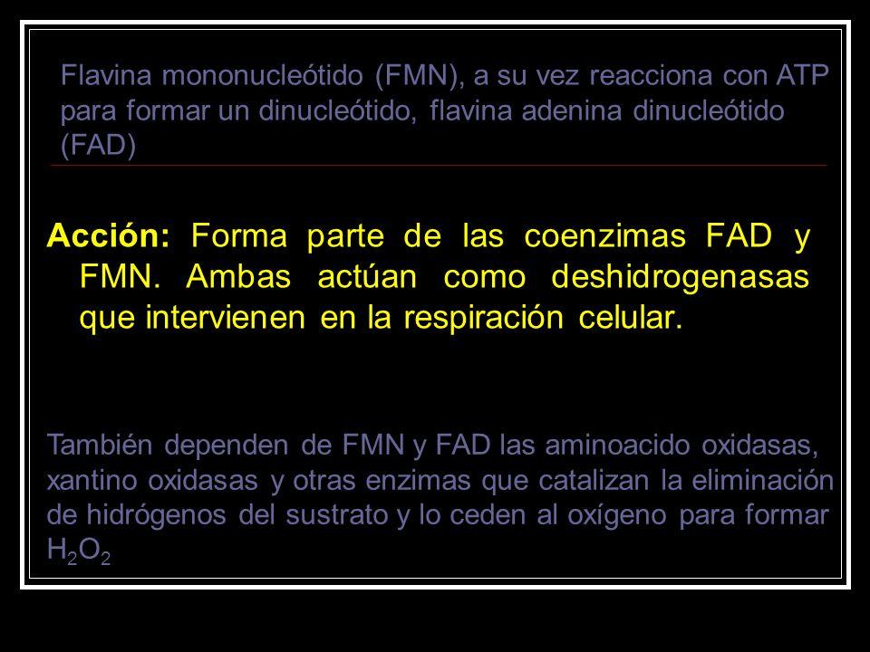 Acción: Forma parte de las coenzimas FAD y FMN. Ambas actúan como deshidrogenasas que intervienen en la respiración celular. Flavina mononucleótido (F