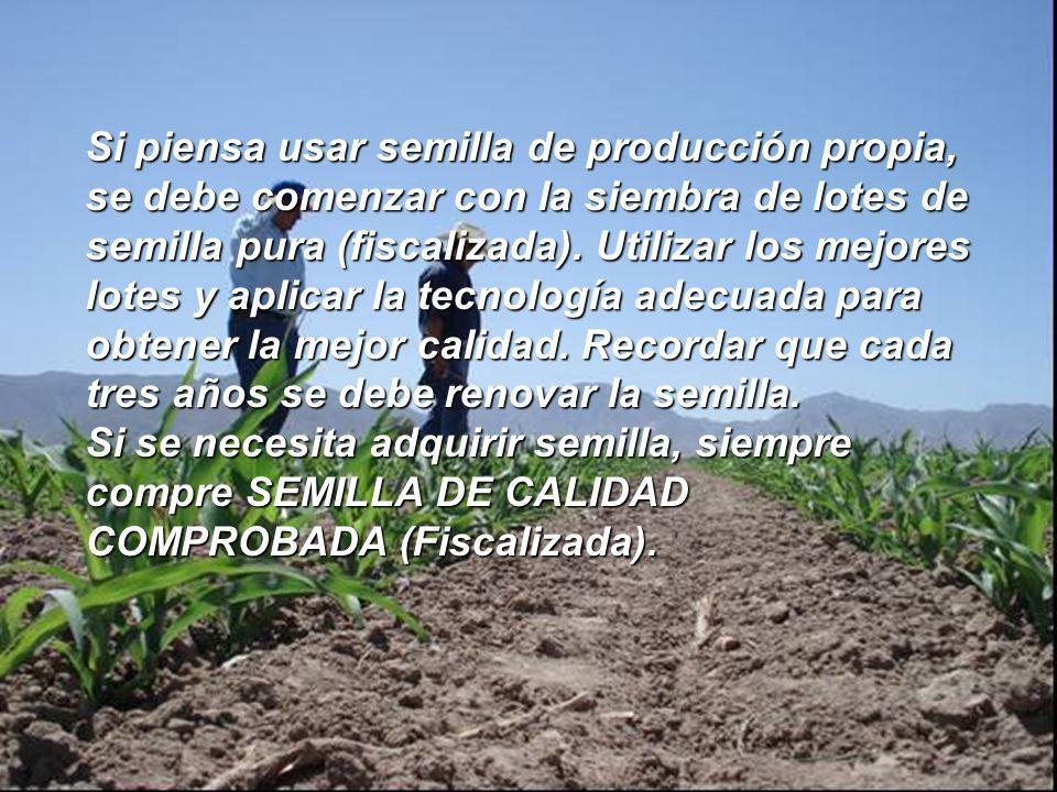 Si piensa usar semilla de producción propia, se debe comenzar con la siembra de lotes de semilla pura (fiscalizada). Utilizar los mejores lotes y apli