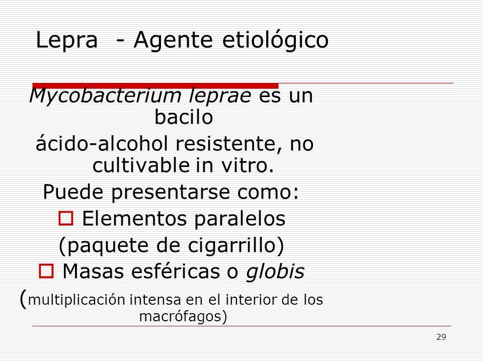 29 Lepra - Agente etiológico Mycobacterium leprae es un bacilo ácido-alcohol resistente, no cultivable in vitro. Puede presentarse como: Elementos par