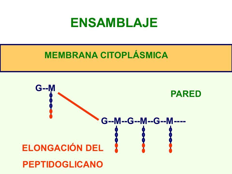ENSAMBLAJE G--M G--M--G--M--G--M---- ELONGACIÓN DEL PEPTIDOGLICANO MEMBRANA CITOPLÁSMICA PARED