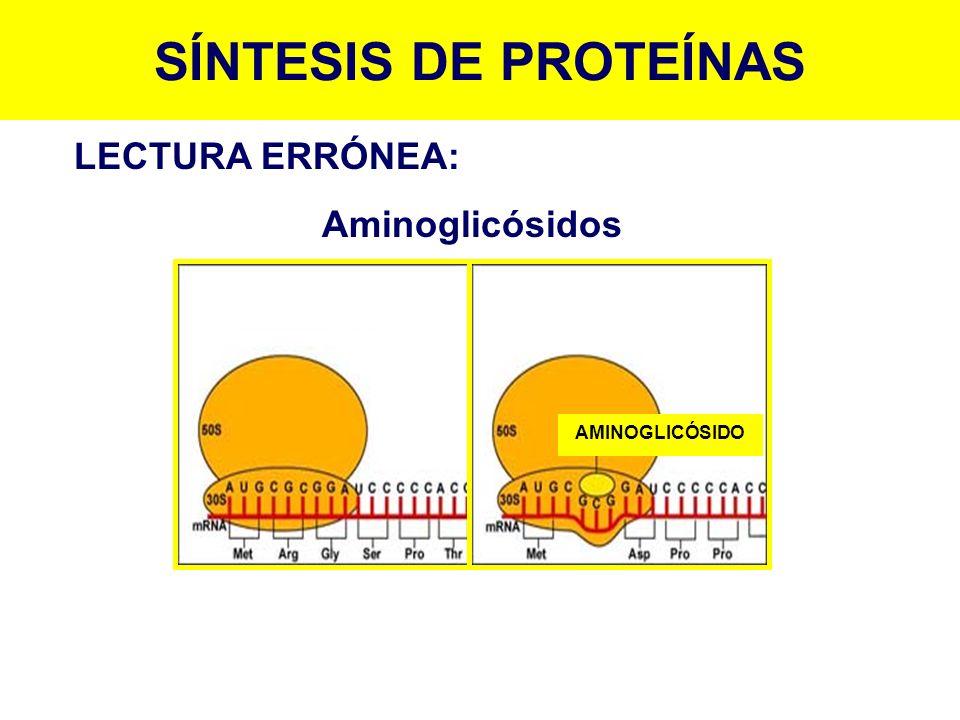 AMINOGLICÓSIDO SÍNTESIS DE PROTEÍNAS LECTURA ERRÓNEA: Aminoglicósidos