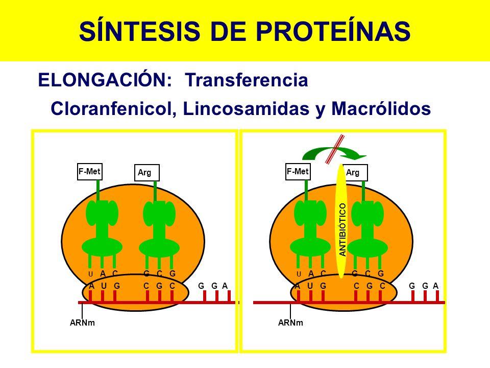 SÍNTESIS DE PROTEÍNAS ELONGACIÓN:Transferencia Cloranfenicol, Lincosamidas y Macrólidos ARNm A U G C G C G G A U C U A C G C G F-Met Arg ARNm F-Met Ar