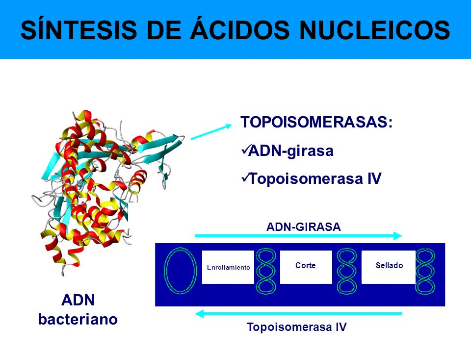 SÍNTESIS DE ÁCIDOS NUCLEICOS TOPOISOMERASAS: ADN-girasa Topoisomerasa IV ADN-GIRASA Topoisomerasa IV Enrollamiento CorteSellado ADN bacteriano