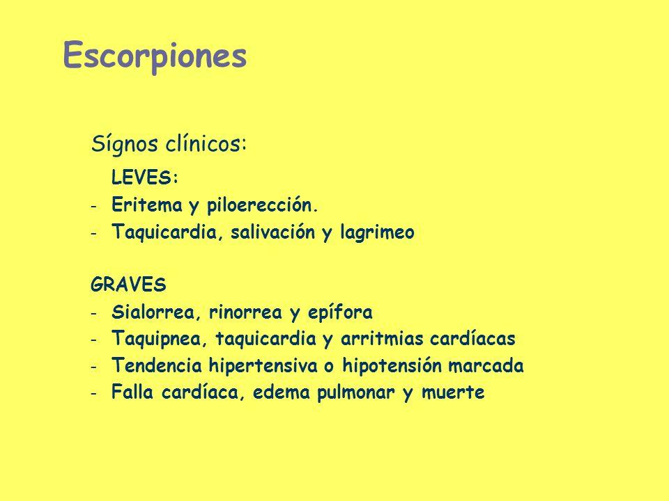 Escorpiones Sígnos clínicos: LEVES: – Eritema y piloerección. – Taquicardia, salivación y lagrimeo GRAVES – Sialorrea, rinorrea y epífora – Taquipnea,