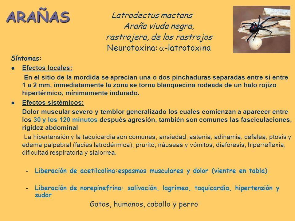 ARAÑAS Latrodectus mactans Araña viuda negra, rastrojera, de los rastrojos Neurotoxina: -latrotoxina CASOS LEVES Dolor local Enrojecimiento local Inquietnd Entnmecimiento del miembro afectado CASOS MODERADOS Prurito nasal y faringeo.