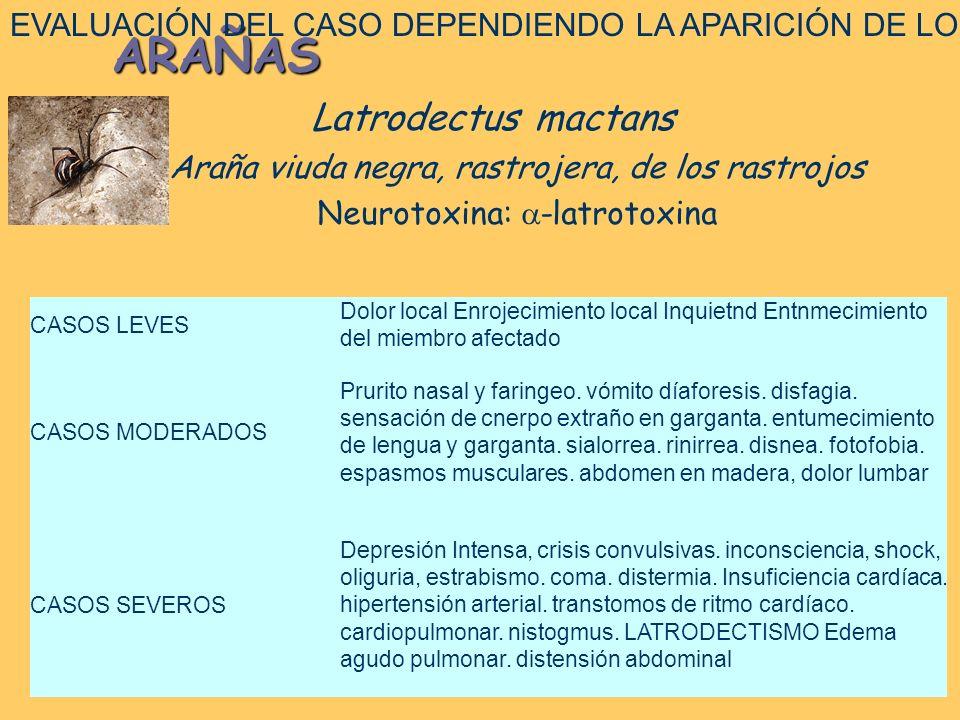 Latrodectus DIAGNÓSTICO: – CPK y AST – Mioglobinuria – Hipocalcemia e hipokalemia TRATAMIENTO – Antiveneno específico – Tratamiento alternativo Reemplazo de calcio: antihipocalcémico, cardiotónico, antihiperpotasémico, antihipermagnesémico Miorrelajantes Control del dolor (opioides y benzodiazepinas)