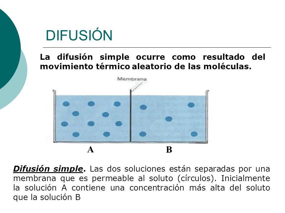 DIFUSIÓN La difusión simple ocurre como resultado del movimiento térmico aleatorio de las moléculas. A B Difusión simple. Las dos soluciones están sep