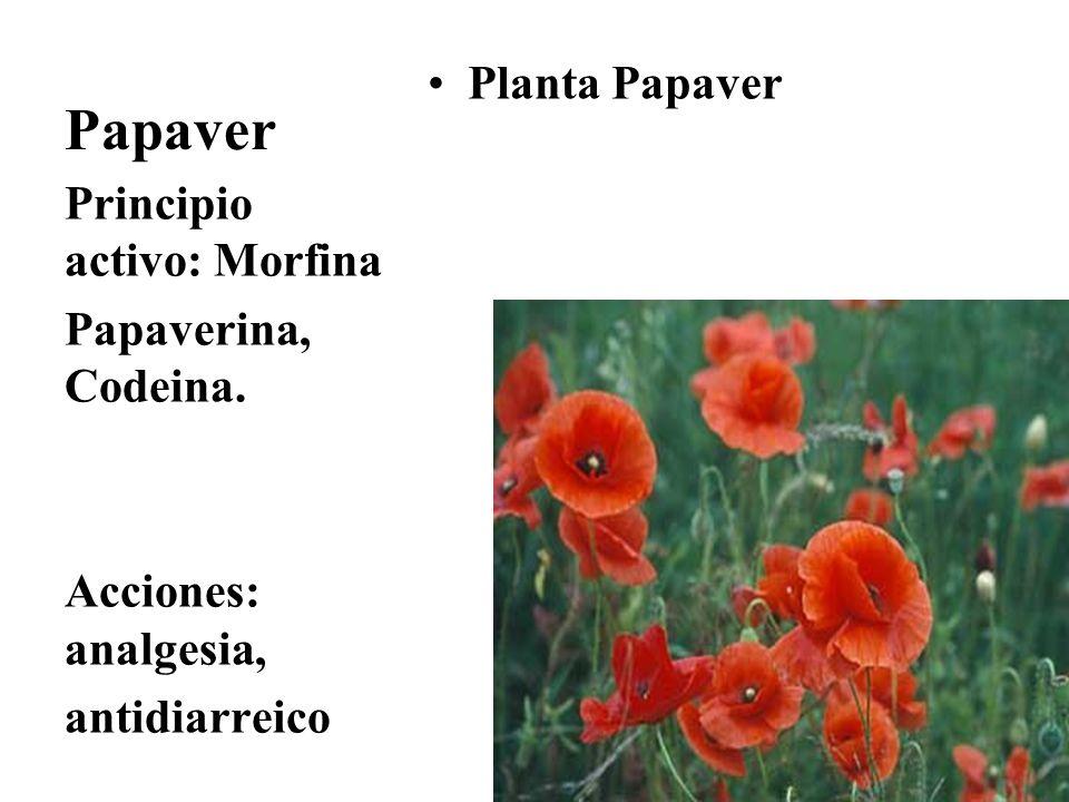 Papaver Planta Papaver Principio activo: Morfina Papaverina, Codeina. Acciones: analgesia, antidiarreico