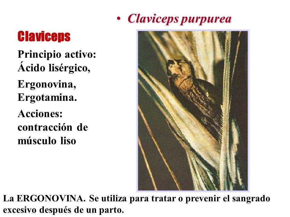 Claviceps Claviceps purpureaClaviceps purpurea Principio activo: Ácido lisérgico, Ergonovina, Ergotamina. Acciones: contracción de músculo liso La ERG