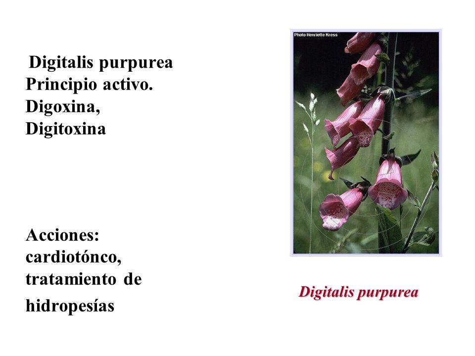 Digitalis purpurea Principio activo. Digoxina, Digitoxina Acciones: cardiotónco, tratamiento de hidropesías