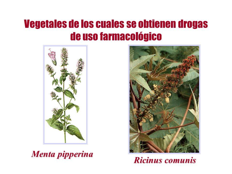 Vegetales de los cuales se obtienen drogas de uso farmacológico Menta pipperina Ricinus comunis