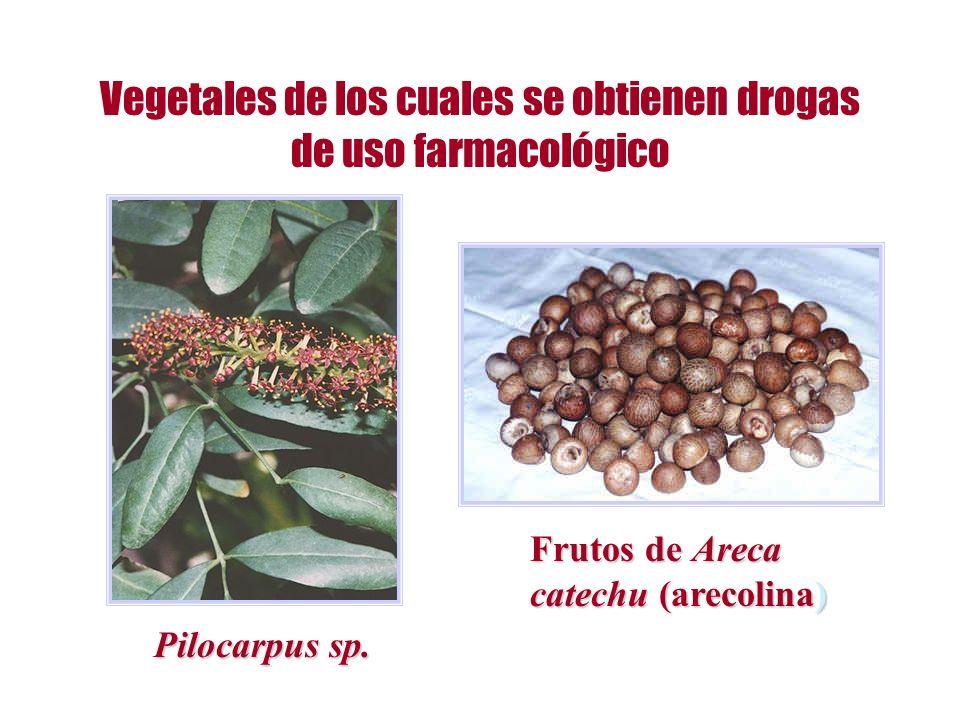 Vegetales de los cuales se obtienen drogas de uso farmacológico Pilocarpus sp. Frutos de Areca catechu (arecolina)