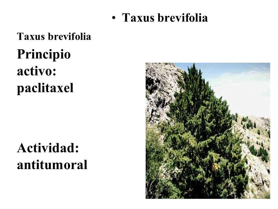Taxus brevifolia Principio activo: paclitaxel Actividad: antitumoral