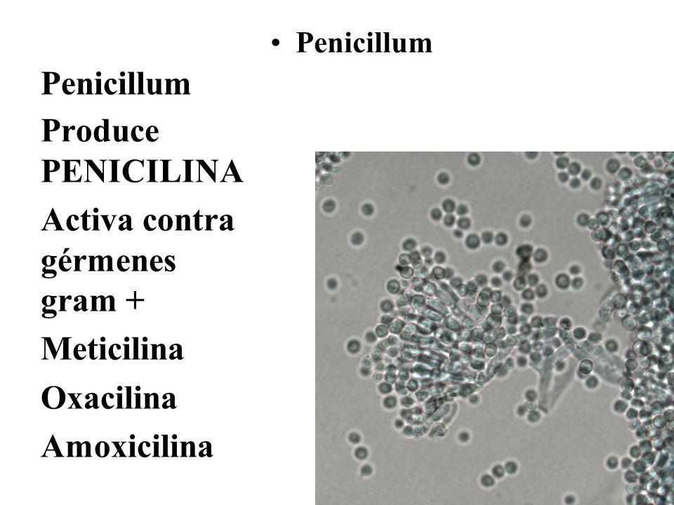 Penicillum Produce PENICILINA Activa contra gérmenes gram + Meticilina Oxacilina Amoxicilina