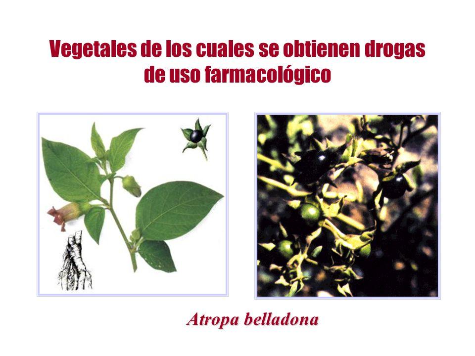 Vegetales de los cuales se obtienen drogas de uso farmacológico Atropa belladona