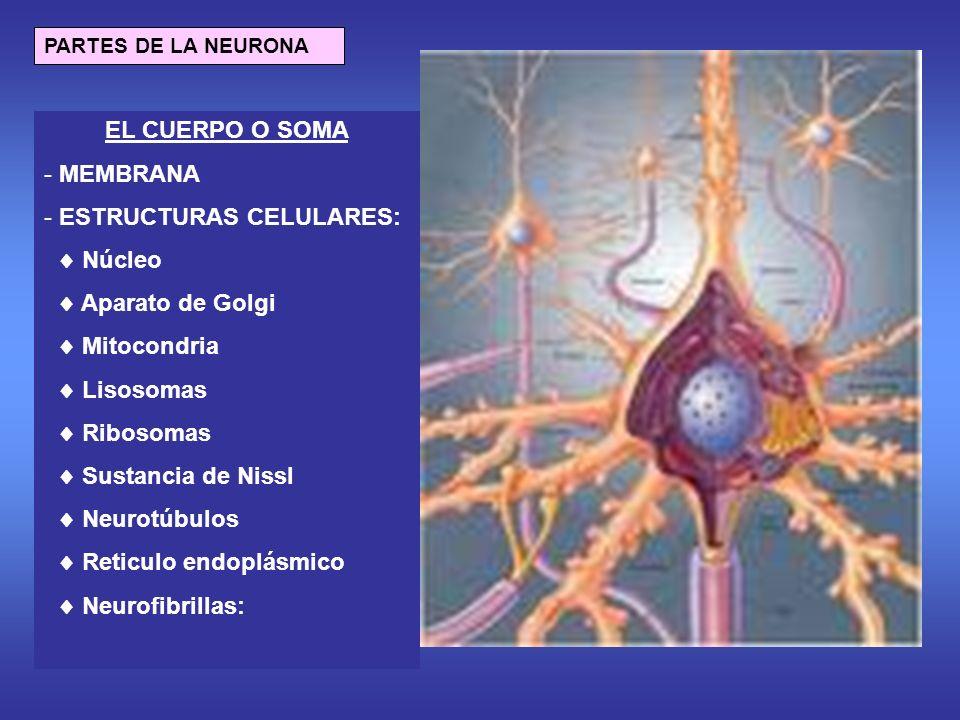 EL CUERPO O SOMA - MEMBRANA - ESTRUCTURAS CELULARES: Núcleo Aparato de Golgi Mitocondria Lisosomas Ribosomas Sustancia de Nissl Neurotúbulos Reticulo endoplásmico Neurofibrillas: PARTES DE LA NEURONA
