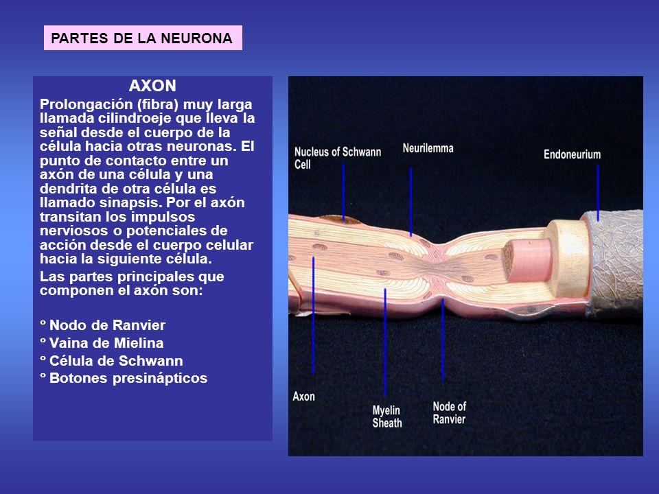 AXON Prolongación (fibra) muy larga llamada cilindroeje que lleva la señal desde el cuerpo de la célula hacia otras neuronas.