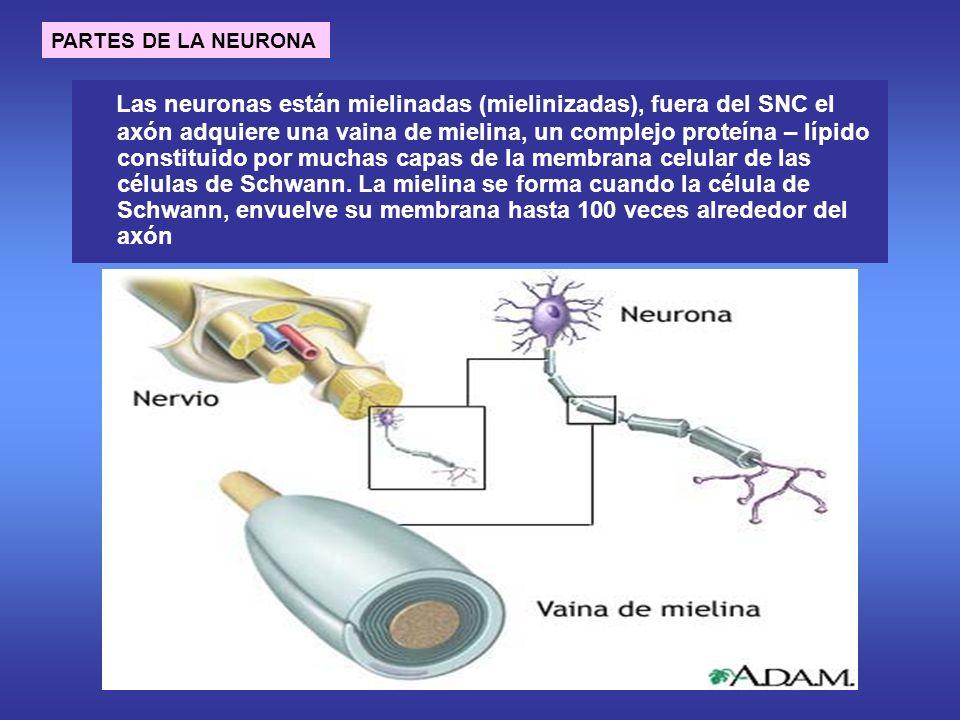 Las neuronas están mielinadas (mielinizadas), fuera del SNC el axón adquiere una vaina de mielina, un complejo proteína – lípido constituido por muchas capas de la membrana celular de las células de Schwann.