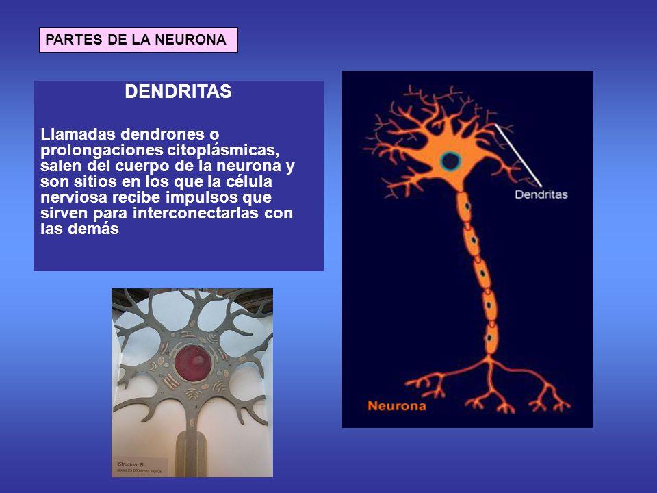 PARTES DE LA NEURONA DENDRITAS Llamadas dendrones o prolongaciones citoplásmicas, salen del cuerpo de la neurona y son sitios en los que la célula nerviosa recibe impulsos que sirven para interconectarlas con las demás