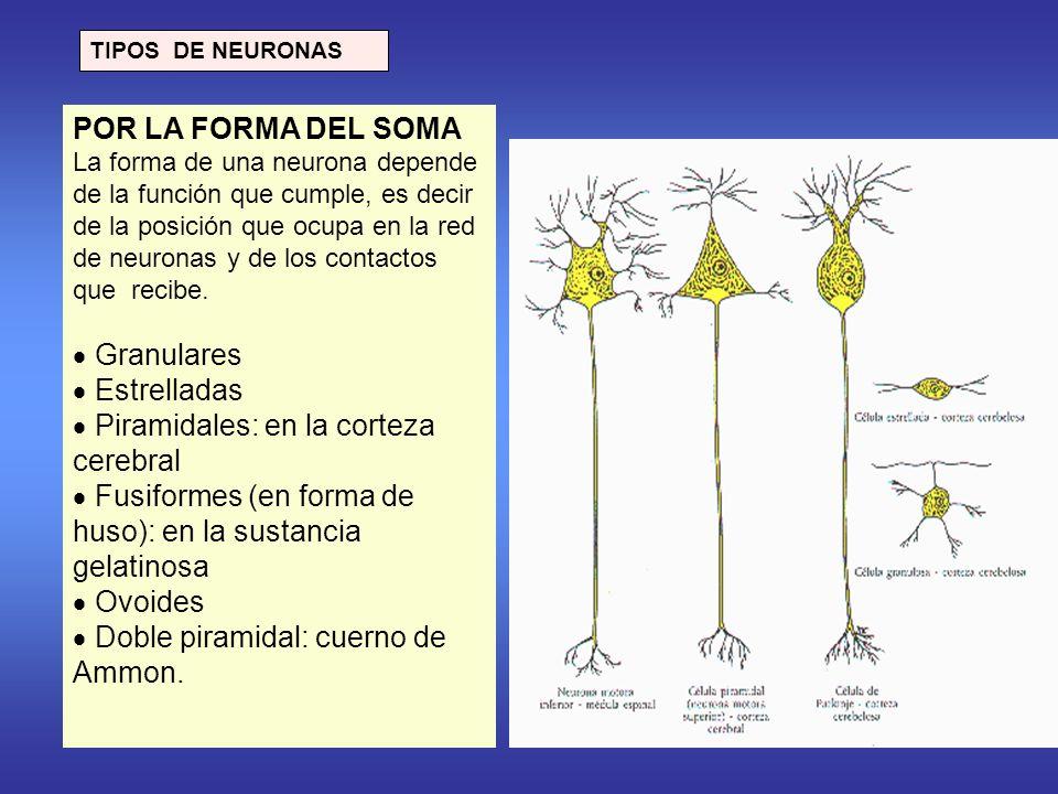 TIPOS DE NEURONAS POR LA FORMA DEL SOMA La forma de una neurona depende de la función que cumple, es decir de la posición que ocupa en la red de neuronas y de los contactos que recibe.