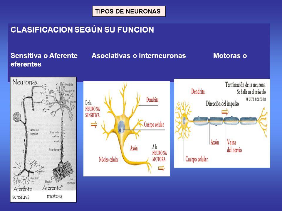 TIPOS DE NEURONAS CLASIFICACION SEGÚN SU FUNCION Sensitiva o Aferente Asociativas o Interneuronas Motoras o eferentes