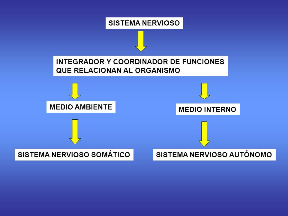 SISTEMA NERVIOSO INTEGRADOR Y COORDINADOR DE FUNCIONES QUE RELACIONAN AL ORGANISMO MEDIO AMBIENTE MEDIO INTERNO SISTEMA NERVIOSO SOMÁTICOSISTEMA NERVIOSO AUTÓNOMO