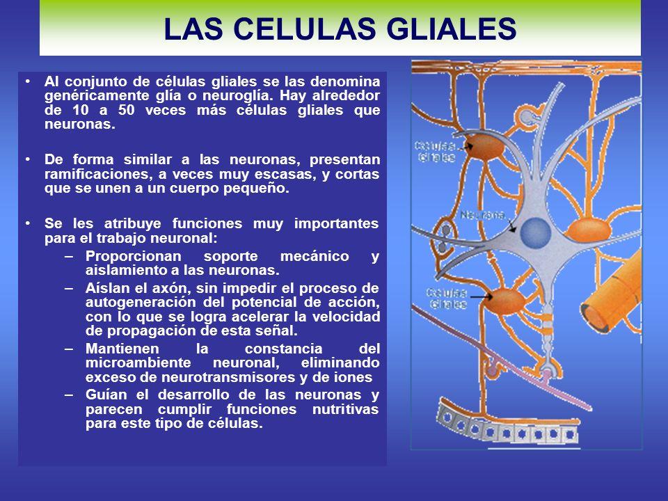 LAS CELULAS GLIALES Al conjunto de células gliales se las denomina genéricamente glía o neuroglía.