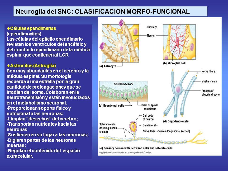 Células ependimarias (ependimocitos) Las células del epitelio ependimario revisten los ventrículos del encéfalo y del conducto ependimario de la médula espinal que contienen al LCR Astrocitos (Astroglía) Son muy abundantes en el cerebro y la médula espinal.