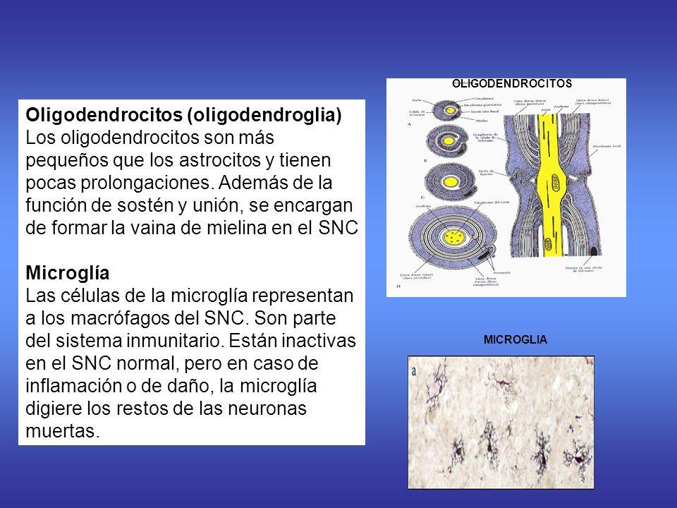 Oligodendrocitos (oligodendroglia) Los oligodendrocitos son más pequeños que los astrocitos y tienen pocas prolongaciones.