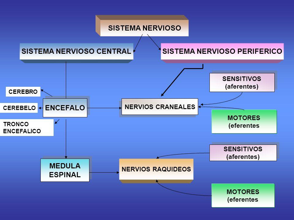 SISTEMA NERVIOSO SISTEMA NERVIOSO CENTRALSISTEMA NERVIOSO PERIFERICO SENSITIVOS (aferentes) SENSITIVOS (aferentes) ENCEFALO NERVIOS CRANEALES MOTORES (eferentes SENSITIVOS (aferentes) SENSITIVOS (aferentes) MEDULA ESPINAL MEDULA ESPINAL NERVIOS RAQUIDEOS MOTORES (eferentes CEREBRO CEREBELO TRONCO ENCEFALICO
