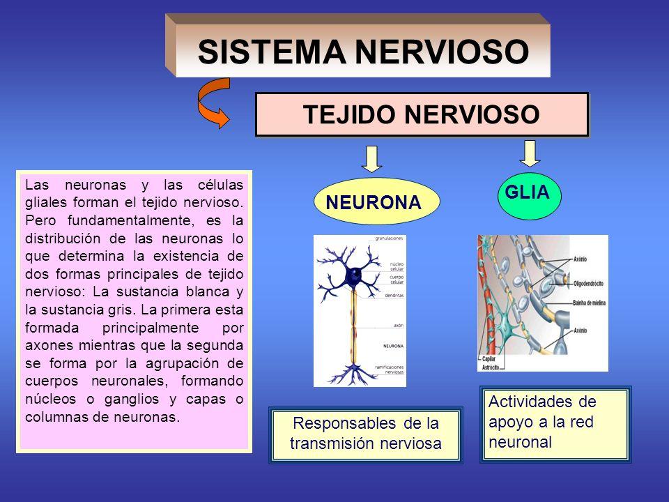 NEURONA GLIA Responsables de la transmisión nerviosa Actividades de apoyo a la red neuronal TEJIDO NERVIOSO Las neuronas y las células gliales forman el tejido nervioso.