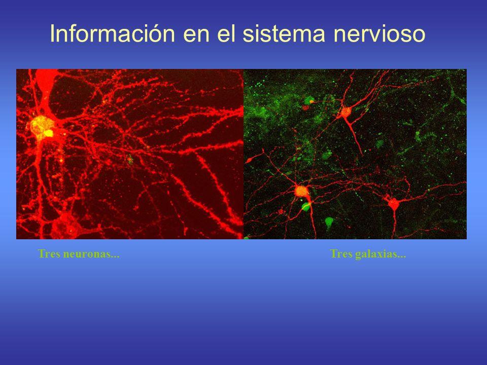 Información en el sistema nervioso Tres neuronas...Tres galaxias...