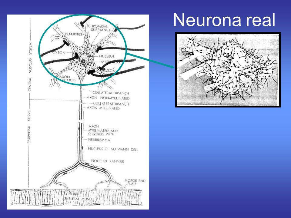 Neurona real