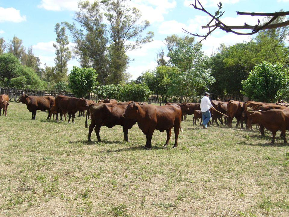 SILO PUENTE o TERRAPLÉN 5) Cuantas vacas se alimentan durante 4 meses con 420 m 3 .