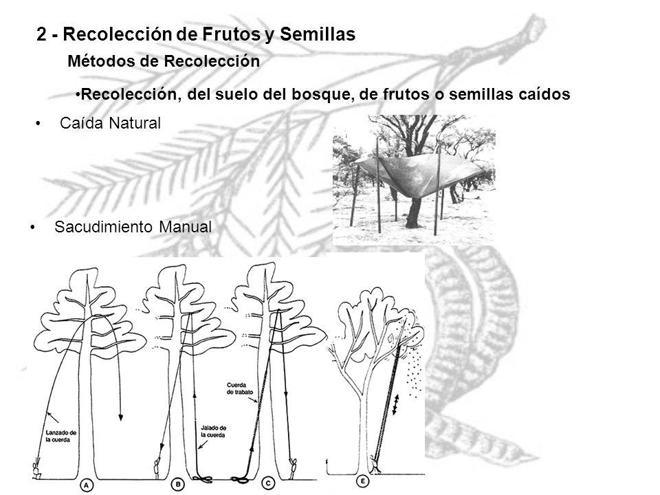 2 - Recolección de Frutos y Semillas Métodos de Recolección Recolección, del suelo del bosque, de frutos o semillas caídos Caída Natural Sacudimiento