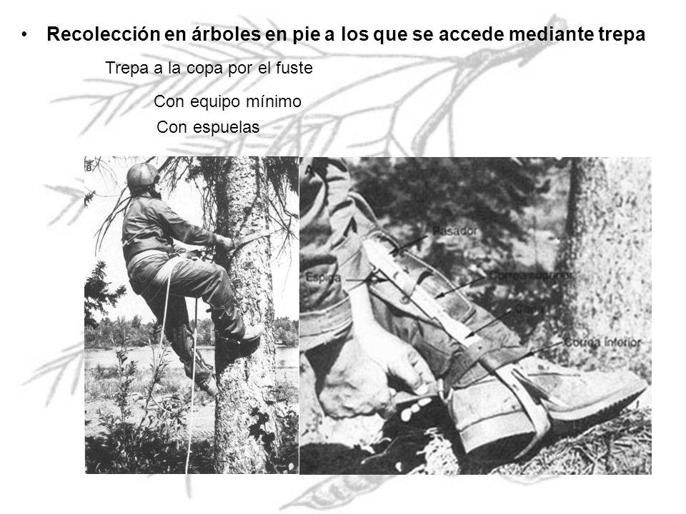 Recolección en árboles en pie a los que se accede mediante trepa Trepa a la copa por el fuste Con equipo mínimo Con espuelas
