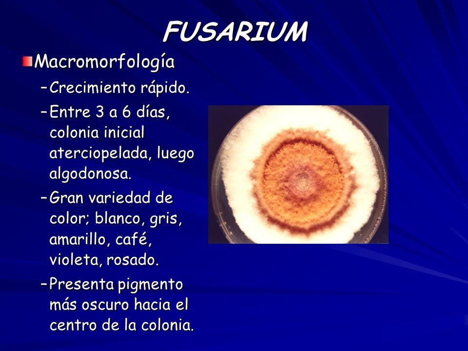 FUSARIUM Macromorfología –Crecimiento rápido. –Entre 3 a 6 días, colonia inicial aterciopelada, luego algodonosa. –Gran variedad de color; blanco, gri
