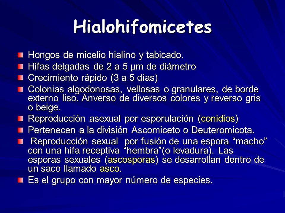 Hialohifomicetes Hongos de micelio hialino y tabicado. Hifas delgadas de 2 a 5 µm de diámetro Crecimiento rápido (3 a 5 días) Colonias algodonosas, ve