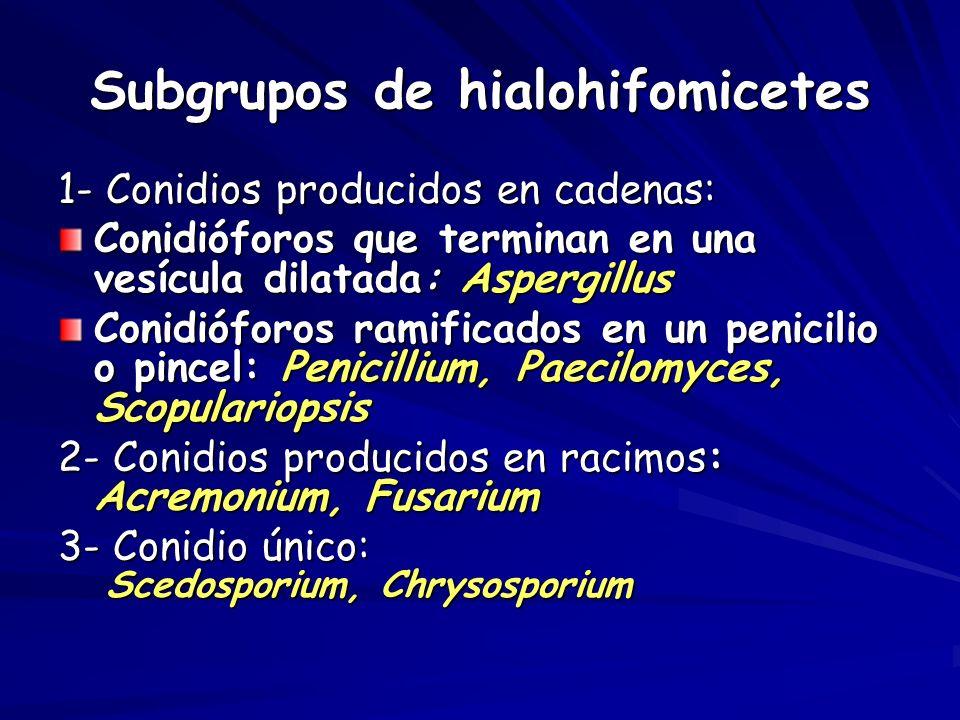 Subgrupos de hialohifomicetes 1- Conidios producidos en cadenas: Conidióforos que terminan en una vesícula dilatada: Aspergillus Conidióforos ramifica
