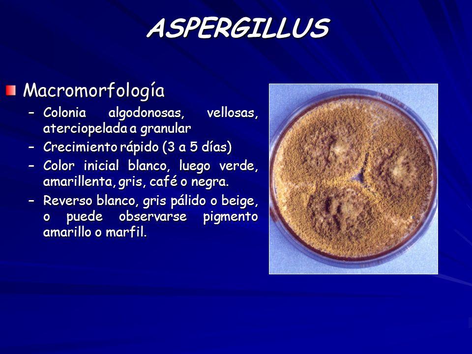 Micromorfología –Hifas relativamente anchas, con ramificación dicotómica en 45º.