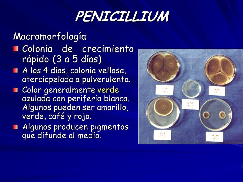 PENICILLIUM Macromorfología Colonia de crecimiento rápido (3 a 5 días) A los 4 días, colonia vellosa, aterciopelada a pulverulenta. Color generalmente