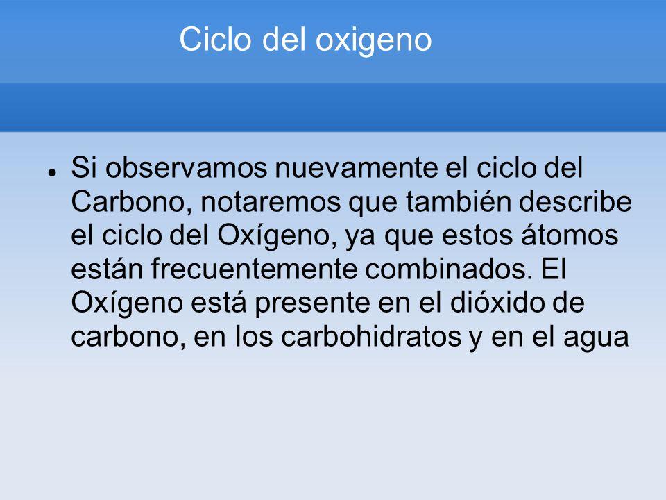 Ciclo del oxigeno Si observamos nuevamente el ciclo del Carbono, notaremos que también describe el ciclo del Oxígeno, ya que estos átomos están frecue