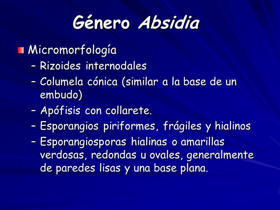 Género Absidia Micromorfología –Rizoides internodales –Columela cónica (similar a la base de un embudo) –Apófisis con collarete.