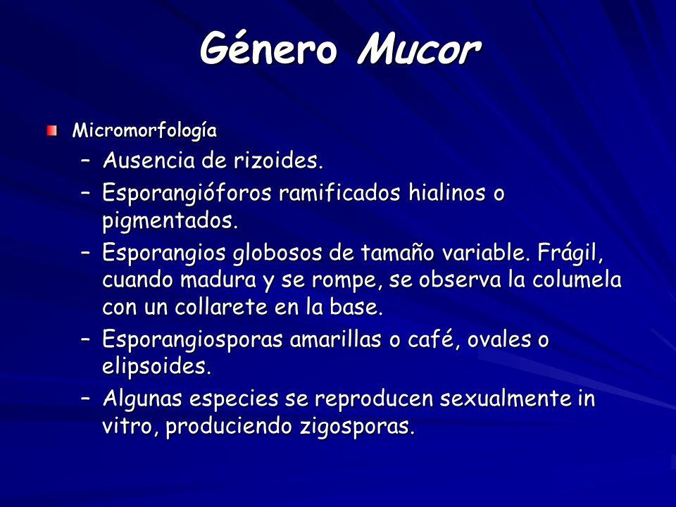 Género Mucor Micromorfología –Ausencia de rizoides.