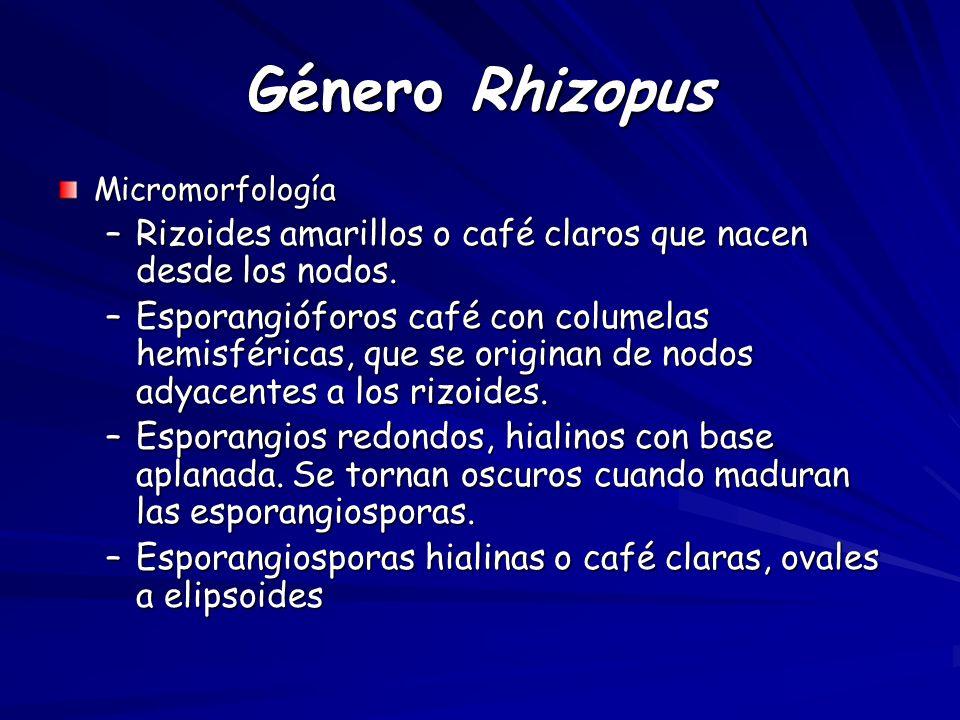 Género Rhizopus Micromorfología –Rizoides amarillos o café claros que nacen desde los nodos.