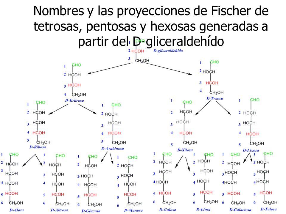 Nombres y las proyecciones de Fischer de tetrosas, pentosas y hexosas generadas a partir del D-gliceraldehído