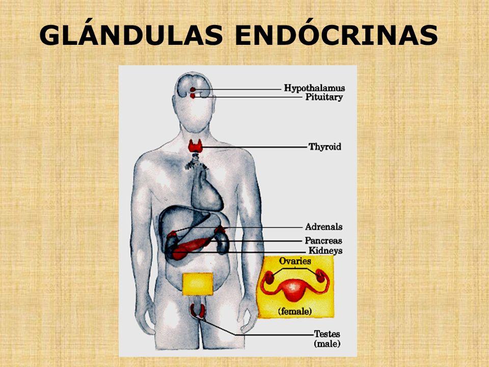 sistema endocrino: Glándulas endocrinas