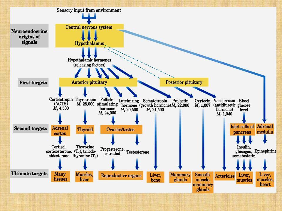TIROIDES HORMONAS TIROIDEAS: T 3 Y T 4 CALCITONINA TIMO TIMOSINA PARATIROIDES PARATHORMONA (PTH)