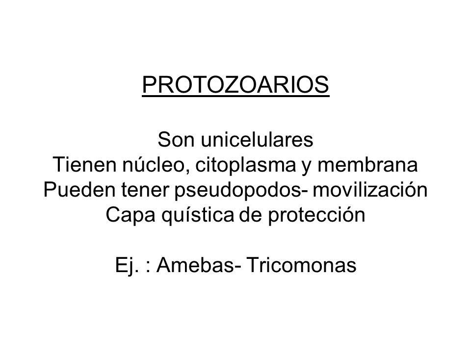 PROTOZOARIOS Son unicelulares Tienen núcleo, citoplasma y membrana Pueden tener pseudopodos- movilización Capa quística de protección Ej. : Amebas- Tr