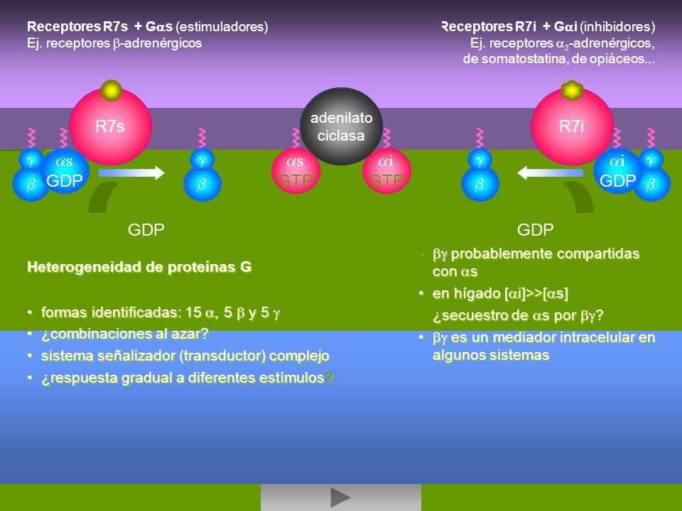 activacion - inhibicion AC adenilato ciclasa Receptores R7s + G s (estimuladores) Ej. receptores -adrenérgicos R7s s GDP R7i i GDP Receptores R7i + G